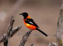 Jamacaii d'Icterus d'oiseau sur la branche sèche photographie stock libre de droits