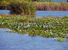 Jamaica. The blossoming hyacinths on the Black river (Eichornia crassipes) Stock Image