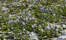 Jamaica. The blossoming hyacinths on the Black river (Eichornia crassipes Royalty Free Stock Photography