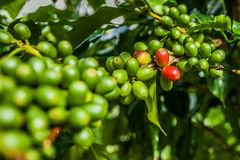 Jamaica coffee blue mountains green. Beans grow Royalty Free Stock Image