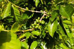 Jamaica coffee blue mountains green. Beans grow Stock Photography