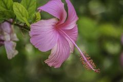 Hibiscus Flower In Full Bloom stock photo