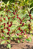 Jamaica Sorrel. Fresh red Jamaica Sorrel fruit Stock Photography