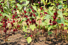 Jamaica Sorrel Royalty Free Stock Photography