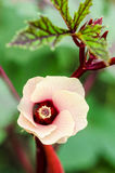 Jamaica Sorrel flower. Pink flower blossom on tree of Jamaica Sorrel or Hibiscus sabdariffa in Thailand Stock Images