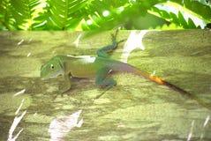 Jamaicaanse Anole-Hagedis (Anolis-grahami) Stock Afbeeldingen