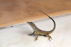 Jamaicaanse anole hagedis anolis grahami stock foto afbeelding 41273974 - Graham en bruine behang ...