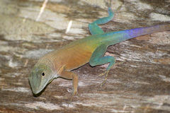 Free Jamaican Anole (Anolis Grahami) Royalty Free Stock Photo - 41273395