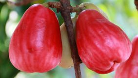Jamaican apple. Syzygium malaccense or Jamaican apple at tree in Indonesia Stock Photos