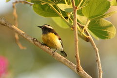 Jamaican Bananaquit Stock Photo