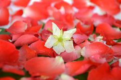 Jamaican cherry flower Stock Photos