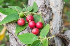 Jamaican cherry Stock Photo