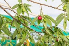 Jamaican cherry Stock Photos