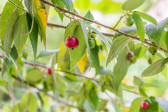 Jamaican cherry Royalty Free Stock Photography