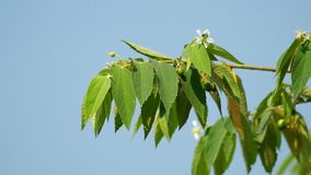 Jamaican cherry fruit on the tree stock footage