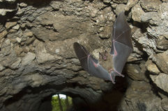Jamaican Fruit Bat flying in cave, Tikal Guatemala Royalty Free Stock Image