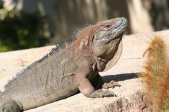 Jamaican iguana (Cyclura collei) Stock Images
