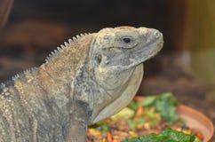 Jamaican iguana2 Royalty Free Stock Image
