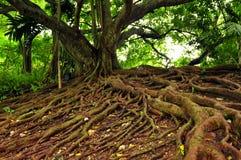 jamaican mahognytree royaltyfri bild