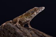 Jamaican twig anole (Anolis valencienni) Royalty Free Stock Photos
