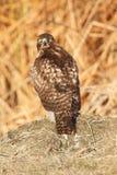 红被盯梢的鹰(鵟鸟jamaicensis) 免版税库存图片