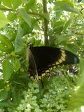 Jamaika-Schmetterling Lizenzfreies Stockfoto