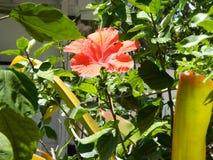 Jamaikansk blomma i södra Florida royaltyfria foton