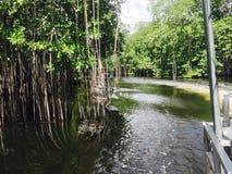 Jamaikanska mangrovar Royaltyfri Fotografi