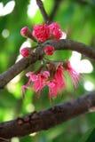 Jamajski jabłczany kwiat obrazy stock