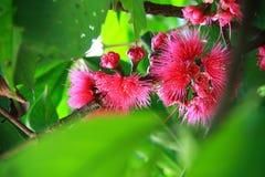 Jamajski jabłczany kwiat fotografia royalty free
