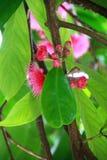 Jamajski jabłczany kwiat obraz stock