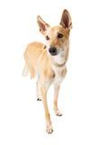 Jambe absente de chien mélangé de race Image libre de droits