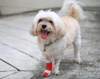 Jambe blessée de Shih Tzu enveloppée par le bandage rouge Photo stock