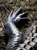 Jambe de l'alligator Image libre de droits