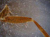 Jambe de mouche de Drosofila sous la microscopie Photo libre de droits