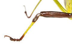 Jambe de Tettigoniidae de sauterelle avec quatre segments tarsiens photo libre de droits