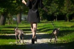 Jambes de femme et deux lévriers en parc Photographie stock libre de droits