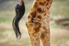 Jambes et queue arrière de girafe Image libre de droits