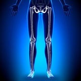 Jambes femelles - os d'anatomie illustration stock