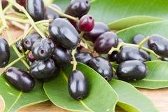 Jambolan śliwka lub Syzygium cumini Jawa śliwkowy 'Skeels (L) ' Zdjęcie Royalty Free