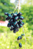 Jambolan plum, Java plum. Jambolan plum or Java plum in nature Royalty Free Stock Photo
