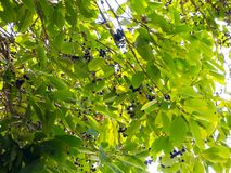 Jambolan plum Syzygium cumini commonly known as black plum or jamun is an evergreen tropical tree in Thailand. royalty free stock photo