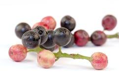 Jambolan (Syzygium cumini (L.) Royalty Free Stock Photo