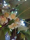 Jambu blomma Arkivfoto