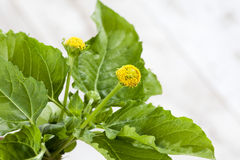 Jambu, Paracress, Acmella-oleracea, Gewürzkraut, Heilpflanze auf Holz Stockfoto