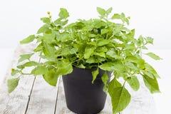 Jambu, Paracress, Acmella-oleracea, Gewürzkraut, Heilpflanze auf Holz Lizenzfreies Stockbild