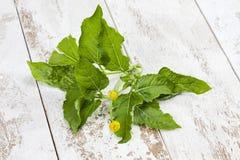 Jambu, Paracress, Acmella-oleracea, Gewürzkraut, Heilpflanze auf Holz Stockbilder