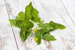 Jambu, Paracress, Acmella oleracea, spice herb, healing plant on wood Stock Images