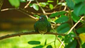 Jambufruktduvan är en ganska liten färgglad fruktduva Det är en invånare som föder upp art i sydliga Thailand, Malaysia, Brunei fotografering för bildbyråer