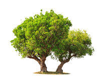 Jambul (Syzygium cumini) Royalty Free Stock Images
